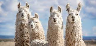 Covid: Immune therapy from llamas shows promise