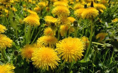 Common dandelion (Taraxacum officinale) efficiently blocks the interaction between ACE2 cell surface receptor and SARS-CoV-2 spike protein D614, mutants D614G, N501Y, K417N and E484K in vitro